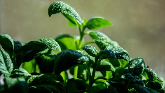 Mit kühlenden Kräutern wie Basilikum, Salbei oder Zitronenmelisse Hitzewallungen lindern